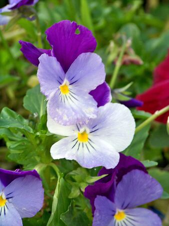 Violet thoughts flowers
