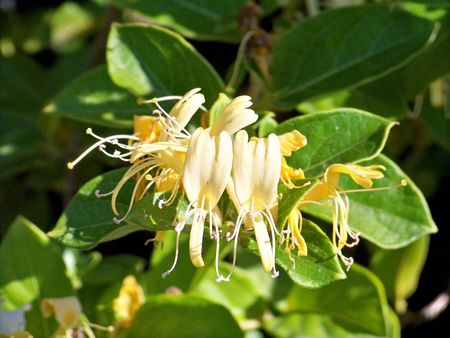 Yellow sweet honeysuckle flowers in green Stock Photo - 5910272