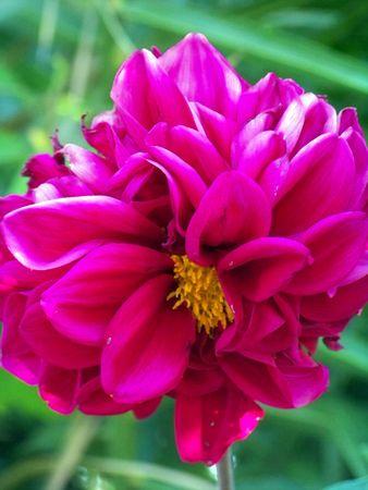 Dark intense pink dhalia flower Stock Photo - 5910262