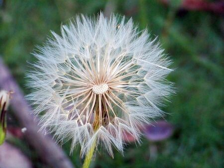 rapprochement: Opened Dandelion flower close up in green