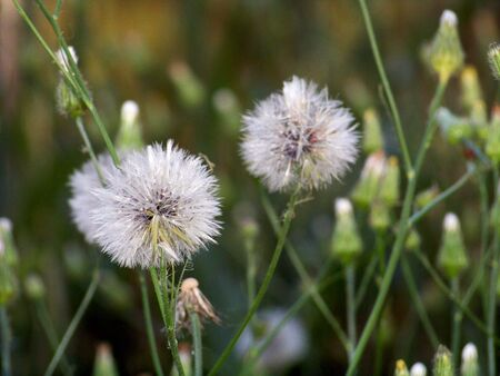 rapprochement: Opening and closed Dandelion blooms and flowers in green