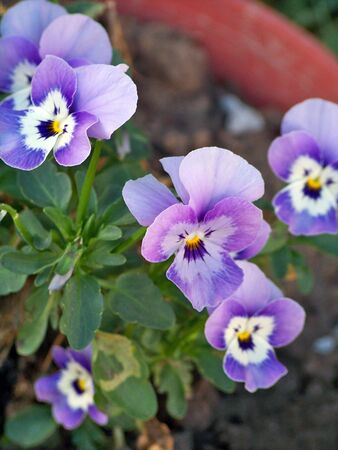 rapprochement: Group of soft violet thoughts flowers  Stock Photo