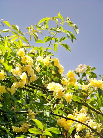 Many yellow roses in the plant Stock Photo - 6095727