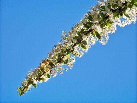 flowered: Flowered garden white branch and sky
