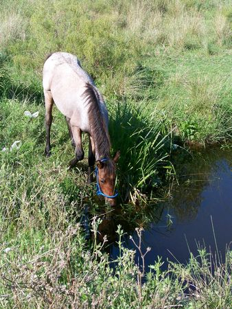 Horse drinking water from a river  Stock Photo - 6095834