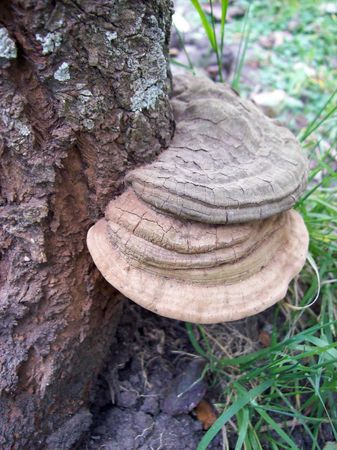 Fungus, on a tree trunk, from the side photo