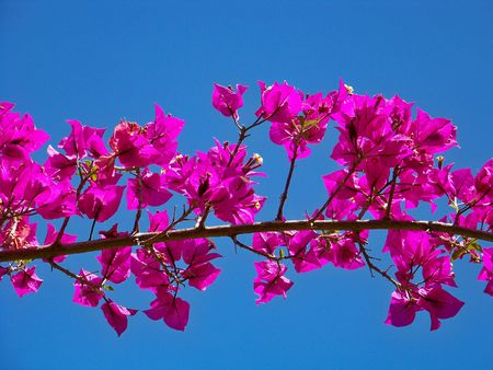 Pink Bougainvillea branch full of flowers and the blue sky photo