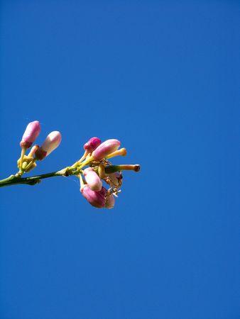 lemon tree: Flores de color rosas de limonero