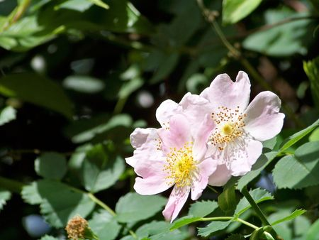 Couple of wild pink roses Stock Photo - 6942664