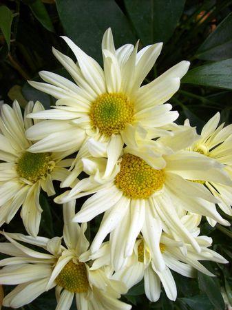 Daisies flowers bouquet  photo