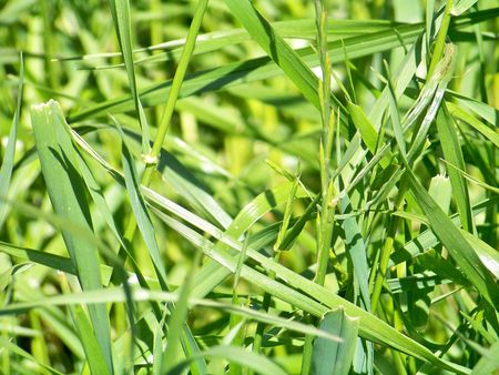 rapprochement: Green grass close up background Stock Photo