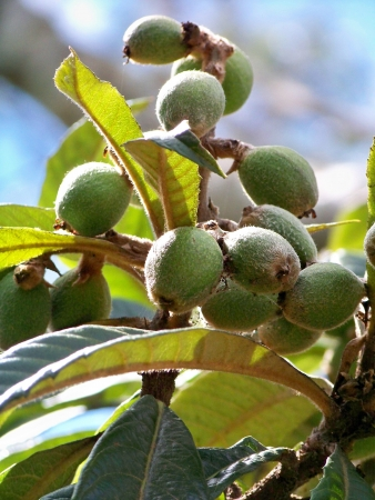 rapprochement: Close up to green medlar fruits on the tree