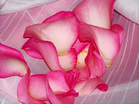 fuchsia color: Valentines flowers soft pink roses petals, background
