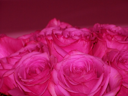 aniversaries: Intense pink roses romantic elegant Valentine Stock Photo