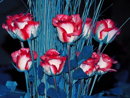 Original unique bouquet, red and white roses with cian blue colored leaves and stalks, american colors for July or elections