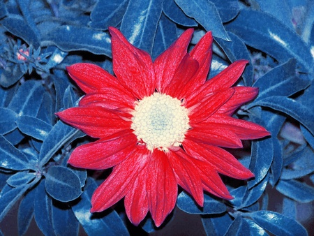 cian: Uniqueness. An unique special red and white daisy flower on a blue leaves folliage background for united states patriotic events