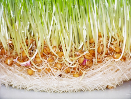 Wheat seed sprouts and roots close-up background photo