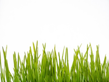 Wheat grass leaves isolated on white background photo