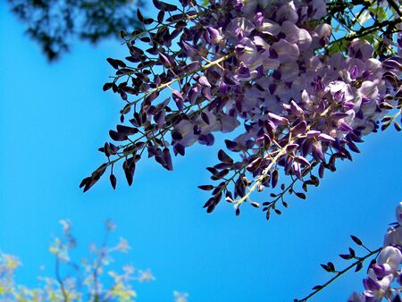 glycine: Purle hanging flowers of Glycine or Wisteria and blue sky