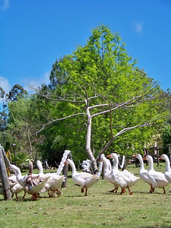 White ducks on grass in sunny country landscape photo