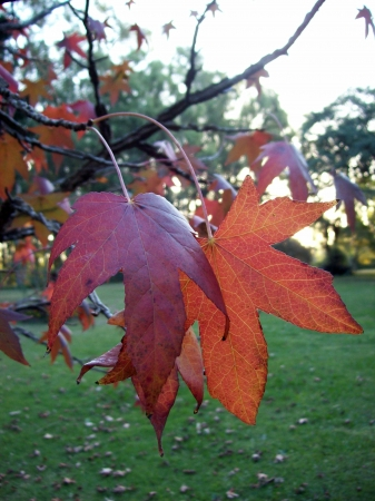rapprochement: Couple of red Autumn leaves on the tree close up