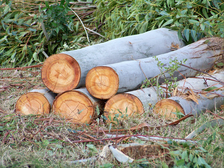 Firewood logs piled in eucalyptus forest photo