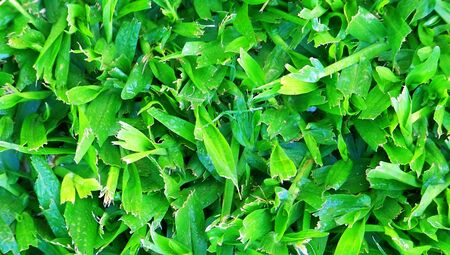 grass close up: Green grass close up natural background texture