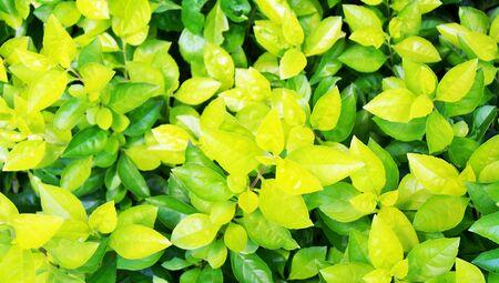 folliage: Light green leaves plant folliage closeup background