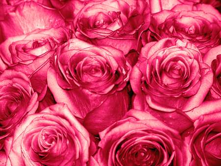 Pink roses buds background Stock Photo