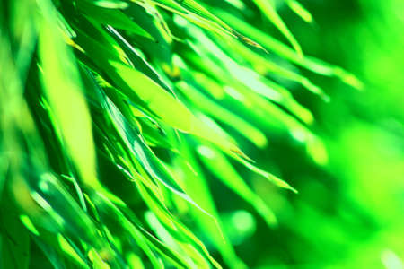 Sunlight on green bambu leaves background close-up