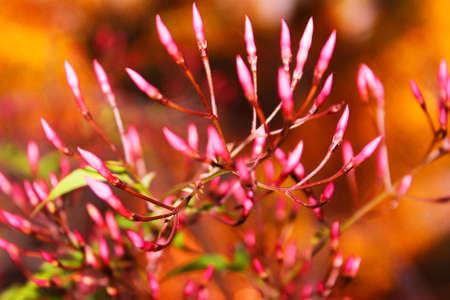 Pink jazmine flowers on blurs background