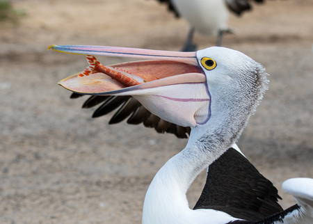 Australian pelican (Pelecanus conspicillatus) with fish in its big beak