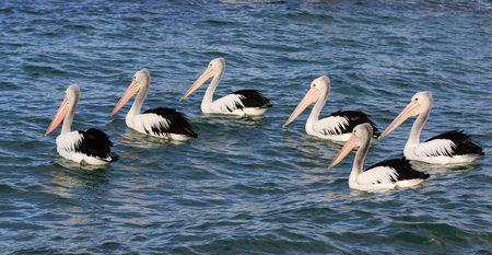 Australian Pelicans (Pelecanus Conspicillatus) grouped up ready to fish in blue water