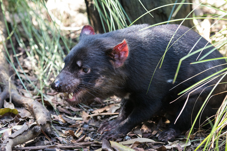 Closeup portrait of the angry Tasmanian devil (Sarcophilus harrisii) withan open mouth and canines
