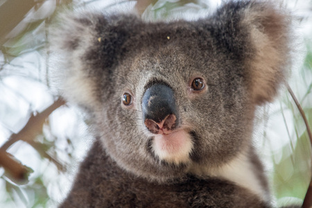Portrait cute Australian Koala Bear sitting in an eucalyptus tree and looking with curiosity. Kangaroo island