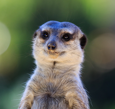 Portrait of Meerkat Suricata suricatta, African native animal, small carnivore belonging to the mongoose family. Zoo Фото со стока