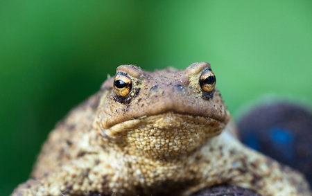Portrait of cute spadefoot toad with bright yellow eyes looking at the camera. Eastern spadefoot toad on green background Stock Photo