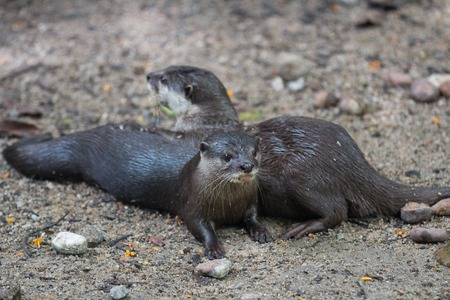 pair of Oriental small-clawed otter, Amblonyx cinereus, also known as the Asian small-clawed otter 写真素材