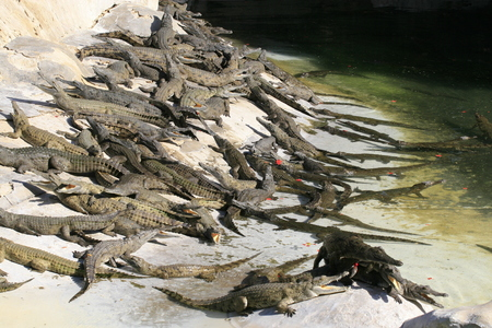 Group of Nile crocodile babies, Crocodylus niloticus, resting under the sun