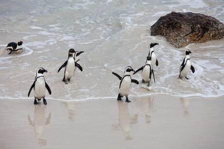 Colony African penguin Spheniscus demersus on Boulders Beach near Cape Town South Africa coming back from the sea. groupe penguines Stock Photo