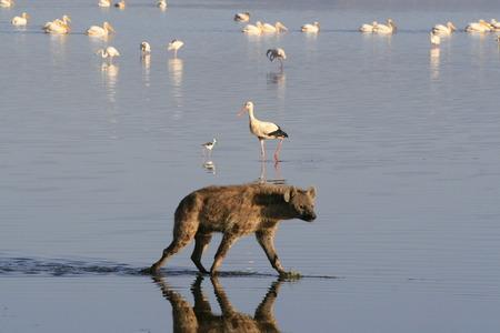 Spotted Hyena hunting flamingo on safari in Kenya.