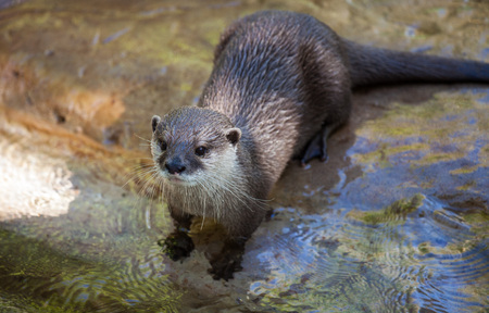Oriental small-clawed otter, Amblonyx cinereus, also known as the Asian small-clawed otter 写真素材