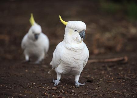 White sulphur-crested cockatoo portrait closeup