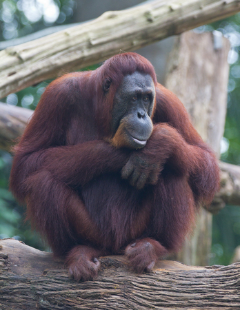 Portrait of the adult orangutan sitting on a tree and looking thoughtfully.