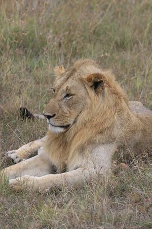 Male lion lying in the dry grass resting in Masai Mara, Kenya