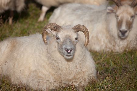 A big white ram sheep with long horns looking at you close up