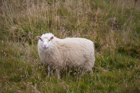 Cute big white ram sheep grazing in the field and looking with interest.