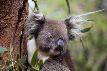 Portrait cute Australian Koala Bear sitting in an eucalyptus tree and looking with curiosity. Kangaroo island. 版權商用圖片