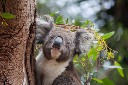 Portrait cute Australian Koala Bear sitting in an eucalyptus tree and looking with curiosity. Kangaroo island.