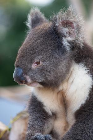 Portrait cute Australian Koala Bear sitting in an eucalyptus tree and looking with curiosity. Kangaroo island. Stock fotó